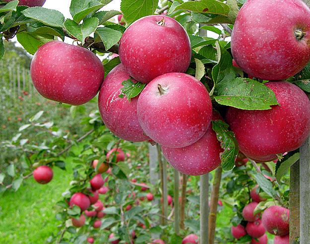 Æbletoften