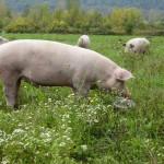 Pigs.TriciaPark.small_
