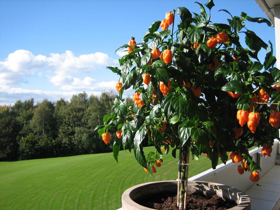 Chili dyrkning