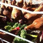 Æggegården