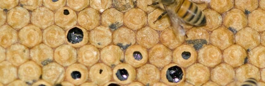 Honningtavle nr 1 forsegling af honning